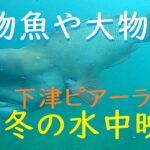 怪物魚や大物が泳ぐ冬の海!下津ピアーランド 水中映像