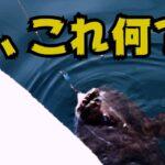 【海釣り】ホッケ釣りに余市漁港来たら足元にバケモノ級のアンコウが?!