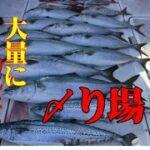 【海釣り情報  船釣り情報】鰤が釣れたら!〆り場第51弾
