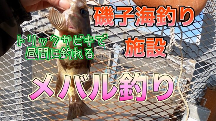 トリックサビキで昼間のメバルを釣る【磯子海釣り施設】