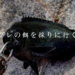 【海釣り】グレ釣りで使う餌(海苔)を採りに行く。
