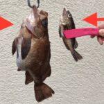 【メバル】サビキで巨大メバルが釣れた!遊漁船でメバルが爆釣
