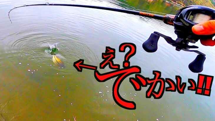 【バス釣り】春の岸釣り野池で足元にルアー投げたら想像以上にでかい魚が釣れちゃってドタバタバよ!!!