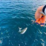 春の日本海で釣りをすると青物がすごかった。
