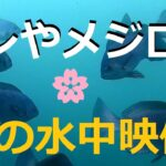 グレやメジロ、多くの魚!とっとパーク4月の水中映像