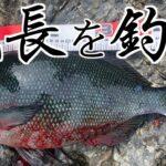 鵜来島で尾長グレを釣った‼【水島郡礁】