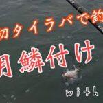 今年初タイラバで真鯛を釣りました。炎月鱗付けできました。