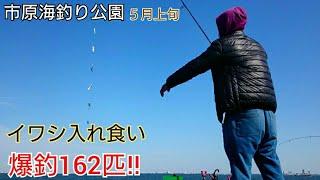 【市原海釣り公園】サビキ釣りでイワシが大爆釣!100匹以上‼コノシロも大漁!