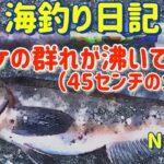 【焼尻島の海釣り】ホッケの群れが沸いてます【海釣り日記14】