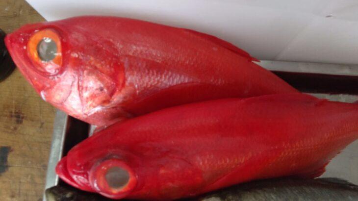最高の釣り鰺三重県産。
