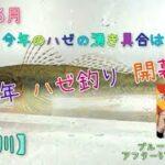 【ハゼ釣り】2021年6月、今年のハゼの湧き具合は!?夏のシーズンを前に、多摩川、羽田地区でのデキハゼ調査です。東京のハゼ釣り。多摩川は浚渫工事継続中で、今年はどうかと、気になり行って参りました。