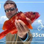 【アカハタ爆釣】神奈川県真鶴で、船釣り in 相模湾!6月下旬 #アカハタ釣り #海釣り #真鶴釣り #神奈川県釣り #相模湾釣り