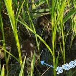 【野生】よーらい、かわいいカモの親子を発見する。 釣りよかでしょう。 カモ 鴨 動物赤ちゃん 雛