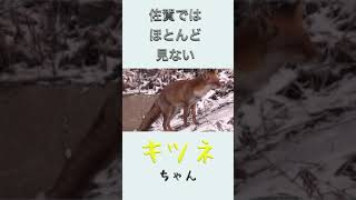 佐賀県には珍しいキツネを発見した!!#shorts【釣りよか切り抜き】